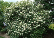 Dwarf European Cranberry Bush