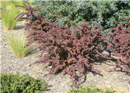 Red-Leaf Japanese Barberry